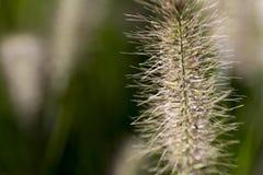 Крупный план alopecuroides pennisetum Стоковые Фотографии RF