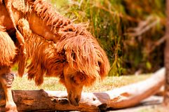 Крупный план bactrian верблюда в зоопарке Стоковая Фотография RF