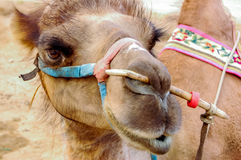 Крупный план bactrian верблюда, Монголии Стоковое Фото