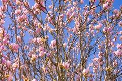 Крупный план Blossoming розового дерева магнолии стоковые изображения rf