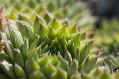 Крупный план calcareum-houseleek Sempervivum Стоковая Фотография RF