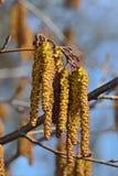 Крупный план catkins ольшаника желтый цвет весны лужка одуванчиков предпосылки полный Стоковое Фото