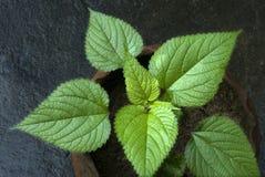 Крупный план dioica-листьев Urtica завода стрекательной крапивы стоковые изображения rf