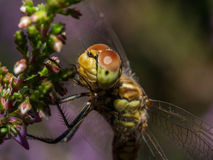 Крупный план dragonfly отдыхая в стержне Стоковое Фото