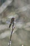 Крупный план Dragonfly Стоковое фото RF