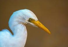 Крупный план Egret скотин Стоковые Фото