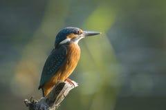 Крупный план Kingfisher Стоковые Фотографии RF