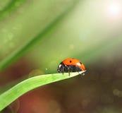 Крупный план Ladybird на лист Стоковые Фотографии RF