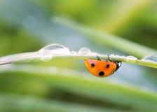 Крупный план Ladybug стоковое фото