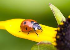 Крупный план Ladybug стоковое изображение