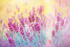 Крупный план lavander цветка Стоковая Фотография RF