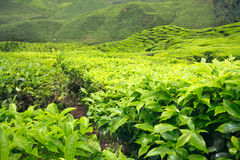 Крупный план leves и кустов чая на плантации чая Стоковое Фото