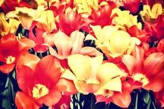 Крупный план multicolor тюльпанов Стоковое Изображение RF