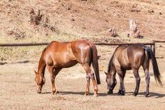 Крупный план paddock пони лошадей Стоковая Фотография