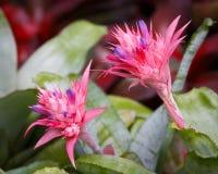 Крупный план ramosa Aechmea (серебряного bromeliad) вазы, flo ананаса Стоковые Фото