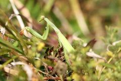 Крупный план religiosa Mantis Стоковое фото RF