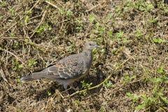 Крупный план rofous голубя черепахи Стоковое Изображение RF