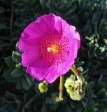 Крупный план scalloped розового суккулентного цветения и бутоны в сочной весне садовничают Стоковое Фото
