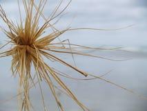 Крупный план sericeus Spiniflex (пляжа Spinifex) стоковые фотографии rf