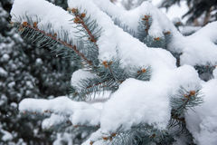 Крупный план spurce Snowy Стоковое Изображение