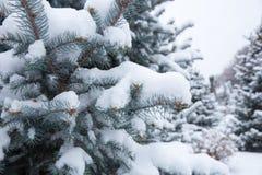 Крупный план spurce Snowy Стоковое Фото