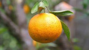 Крупный план Tangerine акции видеоматериалы
