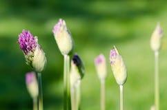 Крупный план unexpanded падений росы бутонов цветка чеснока Стоковое Изображение RF