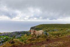 Крутая корова Азорских островов взгляда стоковые фотографии rf