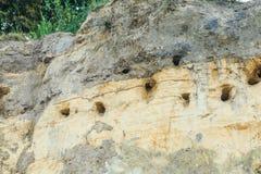 Крутая стена с гнездами ласточек банка, riparia песка Riparia Стоковая Фотография