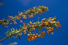 крушина ягод Стоковое Фото