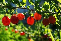 крыжовник Кисл-сладостный вкус этой ягоды дает свежесть Стоковые Фото