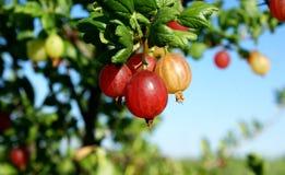 крыжовник Кисл-сладостный вкус этой ягоды дает свежесть Стоковое Изображение RF