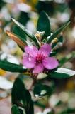 Крыжовник холма, розовый мирт, flowe пинка ягоды пухового мирта одичалое стоковые фотографии rf
