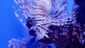 Крылатка-зебра сидя в кораллах в реальном маштабе времени акции видеоматериалы