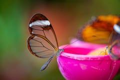 крыла бабочки прозрачные Стоковое Фото