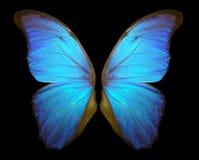 Крыла бабочки Morpho изолированные на черной предпосылке Стоковое фото RF