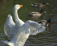 Крыла белой гусыни распространяя Стоковые Фото