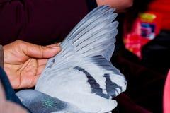 Крыла голубя Стоковая Фотография RF