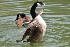 Крыла гусыни Канады развевая и плавать на озере воды Стоковые Изображения RF