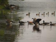 Крыла гусыни распространяя около берега озера Стоковая Фотография