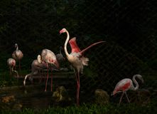 Крыла красивой птицы фламинго распространяя Стоковое Изображение RF