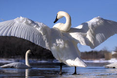 крыла лебедя Стоковые Изображения