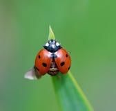 крыла отверстия ladybug Стоковые Изображения