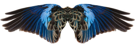 крыла птицы голубые изолированные Стоковое Изображение RF