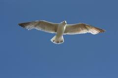крыла распространения чайки Стоковая Фотография