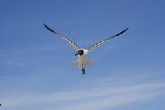 крыла распространения чайки bonaparte Стоковое Фото
