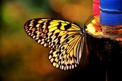 крыла солнечного света бабочки Стоковая Фотография RF