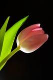крыла тюльпана Стоковое Фото