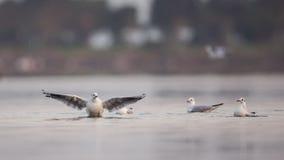 крыла Черно-головой чайки порхая Стоковые Изображения RF
