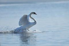 Крыла flapping безгласного лебедя Стоковое Изображение